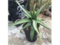 Giant SpiDer Aloe