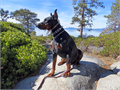 I have an import male Doberman Pinscher to approved dams for mating  Nixon di Altobello date of bir