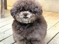 Toy Poodles one black one white female borh July 18th Weight full grown 7 lbs  Available for pick