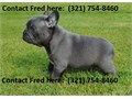 Expert French Bulldog Pups Contact For more info and pics now 321 754-8460