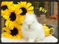 Beautiful double mane lionhead babies vet fluffy friendly a dearf breed only 3 lbs full grown e