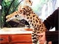 F5 Savannah kittens ready for their forever homes nowSuper sweet friendly social playfulMal