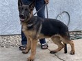 4 months  old German Shepherd puppies 1 male available AKC registered vaccinated and dewormed Re