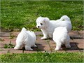 Smooth Coat Maltese Puppies AvailableFor more information and updated pictures textsCalls only to