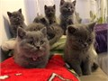 Now that our kittens are ready to go to their new homes they are GCCF registered in the non acti