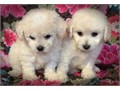 I HAVE MALES AND FEMALES PUPS8 WEEKS OLD SHOTS AND DEWORM ARE UP TO DATE MALTESE MIXED WITH PO