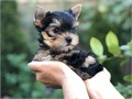 Beautiful Yorkie Puppies raised in our home with our family and other dogs Used to home environmen