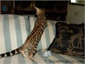 2 Beautiful Brown Rosetted Bengal kittens available1 males first 5 pics 13001 female last 5