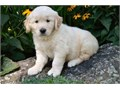 Golden Retriever puppies from excellent bloodlines for sale Mums are great with other dogs and love