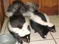 Healthy skunks for sale to any good homeThey are very playfulsocialized with kids and other home p