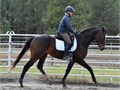 13yr gelding 17hh Paint 100000 has good temperament but hasnt been ridden in a couple of years so