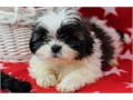 Practical Shih tzu puppieslove playing and runningcontact at 404-939-5204 for