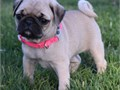 Pug Puppies 8 weeks old we have 3 Females available and as you can see they are absolutely adorab