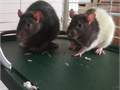 2 6month old male pet rats with large cage and all supplies Friendly and smart pets malcolmsda