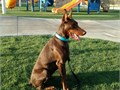 These pups will have the size temperament and DRIVE for sport and or protection workThe mom i