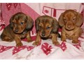 Definite Dachshund Puppies For SaleThey are very friendly with other pets and children Ready to go