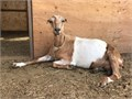 Nubian and La Mancha Milking Goats for sale300 each or 500 for the pair 4 year old goatsJor