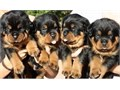 Rottweiler PuppiesMFs10wks Shots UTD with papersFor instant feedbackTextCall 805 521-7472