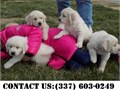 Shy Golden Retriever Puppies for Adoptionthey are Home raised petsVet checked