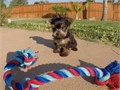 Puppys name RomeoBreed Yorkshire TerrierAge 14 weeks oldRegistry AKCEstimated adult wei