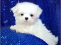 MALTESE PUPPIES FOR SALE SUPER CUTE TINY T CUPS AND TINY TOYS YOU WILL FALL IN LOVE they have cut