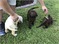 AKC Registered Lab Puppies Yellow and chocolate boys Ready for forever homes comes with Full Registr