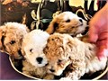 Four ADORABLES cute and cuddle males puppies are ready to go to their forever homeThey are like a