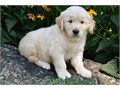 Golden Retriever pups  Mums are great with other dogs and love children as I have three girls