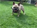 Top quality blue fawn French bulldog up for studnot for sale Thick and bully but small at the sam