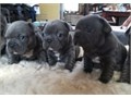 French Bulldog Pupsfor sale They are well socialized litter trained and raised as part of our fami