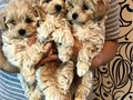 Well trained puppy maltipoos ready for new loving and caring homesPuppies are vaccinated and dewo