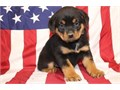 Philosophical Rottweiler puppieslove playing and runningcontact at 404-939-520