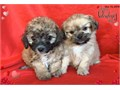 I have 4 boys Maltese mixed with shih tzu 8 weeks old Shots and deworm are up to date