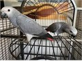 Gorgeous super tame African Grey parrot Has just started talking whistles and does a few tunes Lo