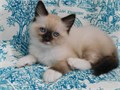 SMART Ragdoll Kittens Ready Kittens come with TICA registration papers are all current on all shot