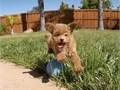 Puppys name EnzoBreed Mini GoldendoodleAge 13 weeks oldRegistry NA