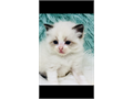 Ventura Cats for Sale and Adoption | Ventura Classifieds