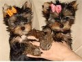 2 adorable Yorkie puppies 1 male 1 female 9 weeks and ready to go first shots and health checke