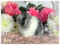 8 week old Holland Lops Very sweet Dwarf breed will only reach 3 to 4 pounds Easy to litter box t