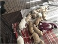 Retriever puppies born 02272019 these puppies will be ready for a home on 05012019 the puppies a