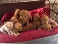 Dark reddish puppies 100 full breed golden retrievers Asking 750 for boys and 850 for girls Th
