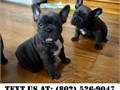 Nice French Bulldog Puppies for Adoptionthey are Home raised petsVet checked a