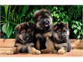 Great Male and Female german shepherd puppies For more details please email jw60978gmailcom or te