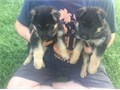 German Shepherd Puppies for sale These beautiful puppies are family raised and are very friendly