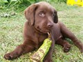 Good Labrador Puppies For Sale Current in their vaccinations and deworming and a health Guaranteew