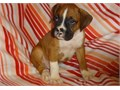 Calming Boxer Puppies For SaleThey are very friendly with other pets and children Ready to go Emai