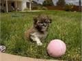 Puppys name HalseyBreed HavaneseAge 10 weeks oldRegistry AKCEstimat