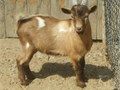 Brown  white male Nigerian Dwarf billy goat kids  Prox 4 months old and ready to go  Good for pet