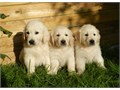 Sweet Male and Female golden retriever puppies For more details please email jw60978gmailcom or t