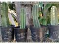 Apple Cactus